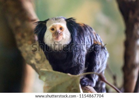 Beautiful close up portrait of the white-headed marmoset (Callithrix geoffroyi), aka the tufted-ear marmoset or Geoffroy's marmoset, endemic to Brazil.