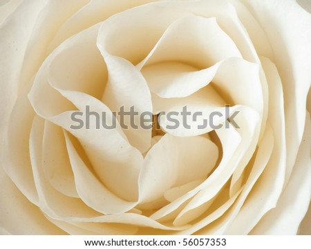beautiful close-up rose with water drops removed close up on a light background