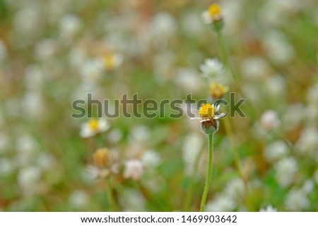 Beautiful close up shot of Coat buttons daisy (Tridax daisy, Wild daisy or Tridax) with blurred background. #1469903642