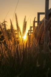 Beautiful close up silhouette of grass flower on sunset background.