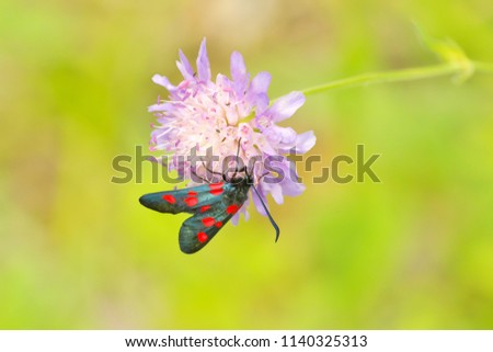 Beautiful close-up view in full length to Zygaena filipendulae (Six-spot burnet) butterfly resting on the flower  with bright green blurred background on a sunny summer day in Latvia. Low DOF.
