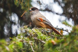 Beautiful close up view of siberian jay bird sitting on a birch in Finland, Oulanka National Park, Lapland