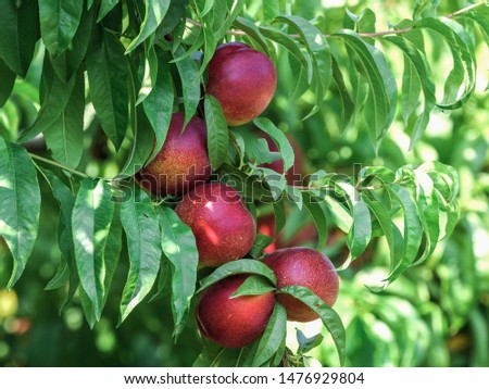 Beautiful close up with fruits of ripe nectarines in the tree