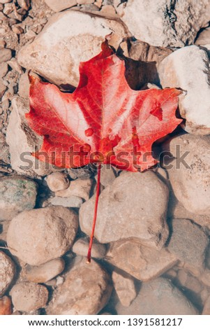 Stock Photo Beautiful closeup natural background with one red autumn fall maple leaf on stones rocks with water drops. View from top above with copyspace. Retro vintage hipster filters. Canada day symbol