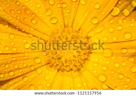 Beautiful closeup of a Calendula flower with dew drops