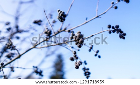 Beautiful closeup of a chokeberry twig at a freezing cold winter day with blue sky in the background #1291718959