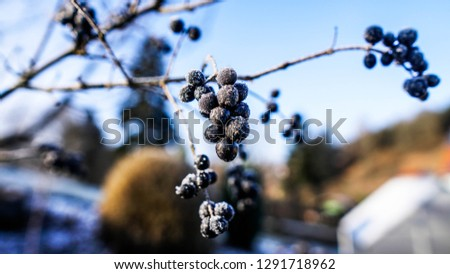 Beautiful closeup of a chokeberry twig at a freezing cold winter day with blue sky in the background #1291718962