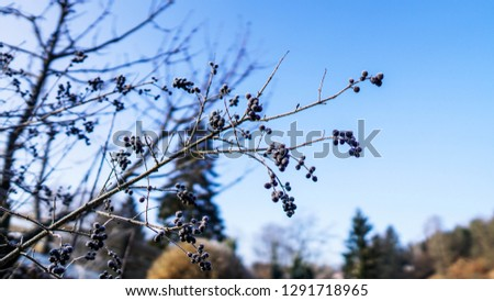 Beautiful closeup of a chokeberry twig at a freezing cold winter day with blue sky in the background #1291718965