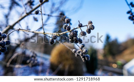 Beautiful closeup of a chokeberry twig at a freezing cold winter day with blue sky in the background #1291718968