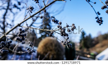 Beautiful closeup of a chokeberry twig at a freezing cold winter day with blue sky in the background #1291718971