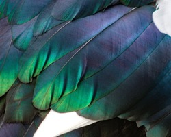 Beautiful closeup of duck feathers with a gorgeous sheen