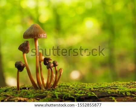 beautiful closeup of forest mushrooms in grass, autumn season. little fresh mushrooms, growing in Autumn Forest. mushrooms and leafs in forest. Mushroom picking concept.