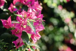 Beautiful closeup of purple bougainville spectabilis on green floral background. Bougainvillea glarba pink flowers and bougainvillea plant tree in summer season. Selective focus