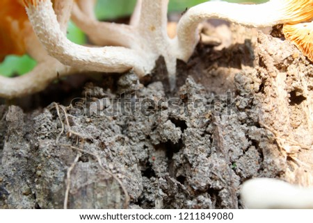 Beautiful closeup picture of Gathering forest poisonous mushrooms and edible mushrooms growing on an old tree stump or wooden log in the forest on a sunny day.Group of Mushrooms growing in the Autumn.