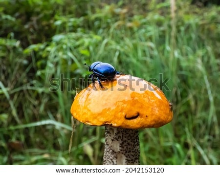 Beautiful closeup shot of Dor beetle or spring dor beetle (Trypocopris vernalis) on orange cap of edible mushroom aspen bolete (Boletus Aspen) in the forest Stockfoto ©
