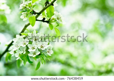 beautiful closeup spring blossoming tree