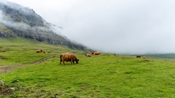 Beautiful closeup view of the hairy cows and hairy bulls in the green fields of the Faroe Islands