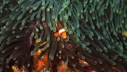 Beautiful clown fish in the sea anemone. Detail of anemone fish hiding in Andaman sea, Thailand. Underwater macro photography. Scuba diving in Thailand.