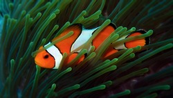 Beautiful clown fish in the sea anemone. Detail of anemone fish hiding in coral Andaman sea, Thailand. Underwater macro photography. Scuba diving in Thailand.