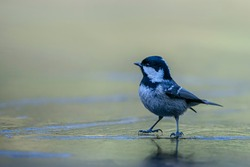 Beautiful coal tit (Periparus ater) stands on a frozen pond in the forest of Noord-Brabant in the Netherlands.