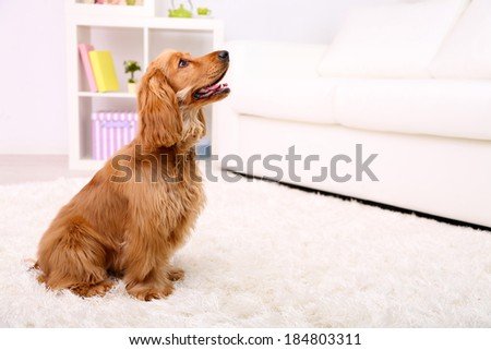 Beautiful cocker spaniel in room #184803311