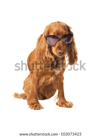 beautiful cocker spaniel in sunglasses siting isolated on white background