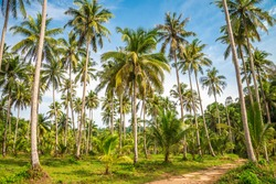Beautiful coconut palm trees farm in Koh Kood island Thailand