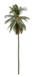 Beautiful coconut tree isolated on white background. Suitable for use in architectural design or Decoration work.