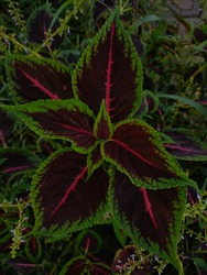Beautiful Coleus flower or scientific name is Coleus scutellarioides with foliage colors, green purple and pink on leaves.