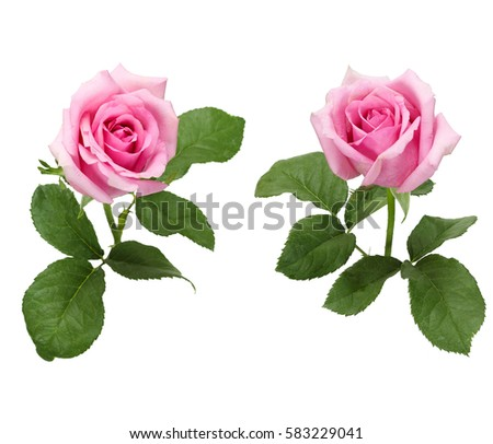 Beautiful collection of roses flowers isolated on white background