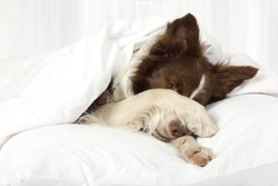 Beautiful Collie border breed dog lying in bed covering her face with a paw