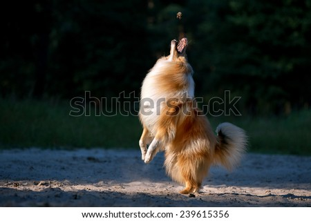 Beautiful collie dog jumping up the subject with an open mouth on a dark background