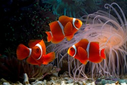 Beautiful color clownfish on coral feefs, anemones on tropical coral reefs, Sea anemones and clownfish on the ocean floor