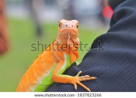 Beautiful color iguana, iguana is nice pet for children Zdjęcia stock ©