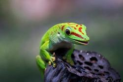 Beautiful color madagascar giant day gecko on dry bud, animal closeup