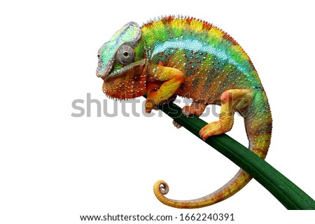 Beautiful color of chameleon panther, chameleon panther on dry leaves, chameleon panther closeup, Chameleon panther on branch with white backround, Stock photo ©