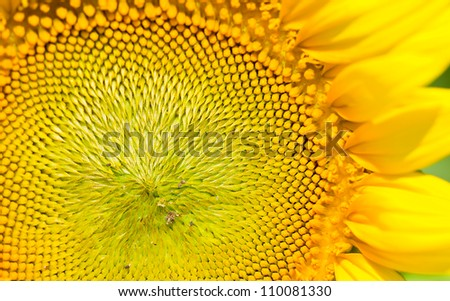 beautiful color  of the sunflower background