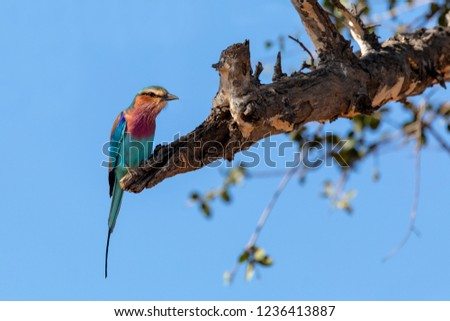 Beautiful colored bird Lilac-brested roller, Coracias caudata, Chobe National Park, Botswana safari and wildlife
