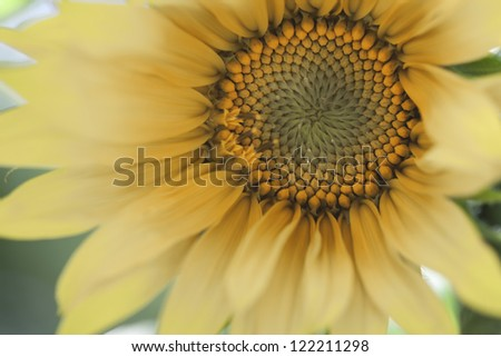 Beautiful colored decor sunflower, small depth of field