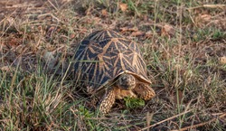 Beautiful colored Indian star tortoise