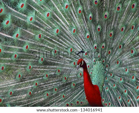 beautiful colored peacock in the zoo photo montage red and green