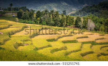 Shutterstock beautiful colored rice field with mountains in the background at flores, indonesia