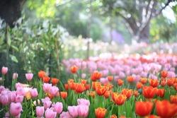 Beautiful colored tulip fields.