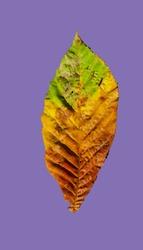 Beautiful colorful autumn leaf - seasonal
