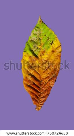 Beautiful colorful autumn leaf - seasonal - Shutterstock ID 758724658