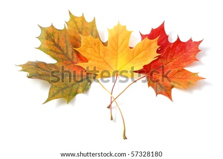 beautiful colorful autumn leaves isolated on white background