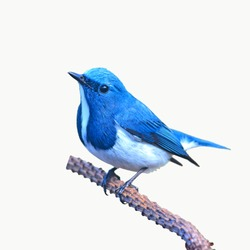 Beautiful colorful bird (Ultramarine flycatcher) perching on a branch on white background