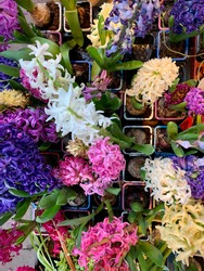 Beautiful colorful blooming Hyacinths in vibrant pink, purple and yellow colors directly above view, bulb spring plants flowers, spring wallpaper background with bright hyacinths