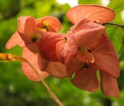 beautiful colorful flower musanda at public park