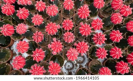 Beautiful Colorful Gymnocalycium mihanovichii grafted cactus cactus on pot in the garden.Selective focus Gymnocalycium grafted cactus or moon cactus.
